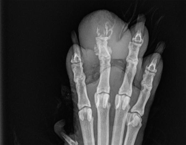 Hund: Knochentumor am Krallenbein — Amputation der Zehe erforderlich