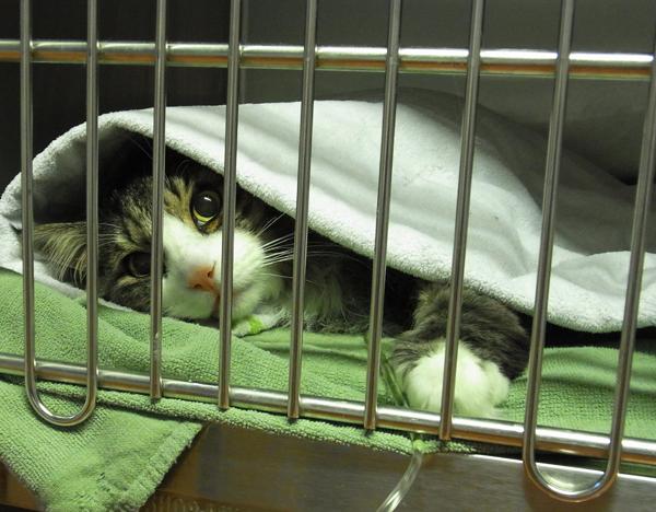 Katzenstation: Katze postoperativ mit Infusion und Wärmedecke in der Aufwach-Box