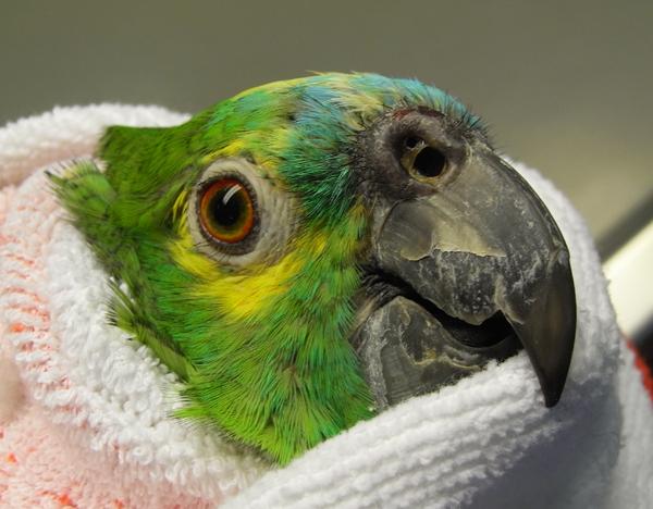 Amazone: verstopftes und entzündetes Nasenloch