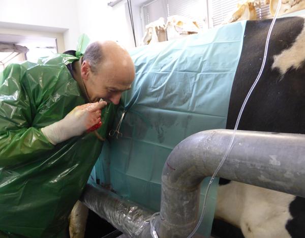 Labmagen-Operation rechtsseitig: Abgasen des verlagerten Labmagens über den Pansen hinweg mit einer mit einem Schlauch versehen Kanüle